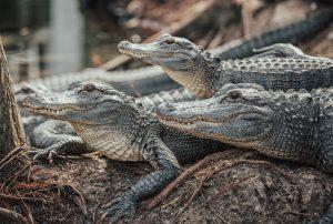 Senate Candidate Compares Refugees to Alligators
